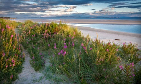 Country diary : Pink flowers of restharrow  growing on the dunes of Nairn beach